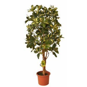 Umělý strom Schefflera Exclusive v terakotovém květináči